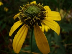 Flora w Dorzeczu Wisłoka: rudbekia naga