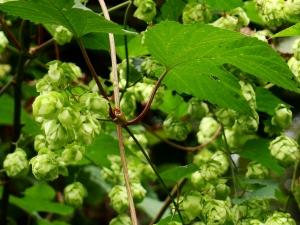 Flora w Dorzeczu Wisłoka: chmiel zwyczajny