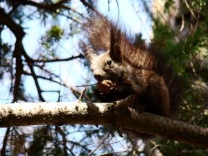 Fauna w Dorzeczu Wisłoka: wiewiórka pospolita