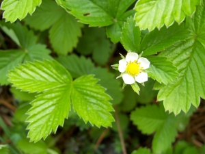 Flora w Dorzeczu Wisłoka: poziomka pospolita