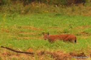 Fauna w Dorzeczu Wisłoka: ryś