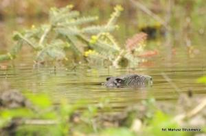 Fauna w Dorzeczu Wisłoka: bóbr europejski