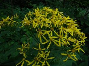 Flora w Dorzeczu Wisłoka: starzec gajowy
