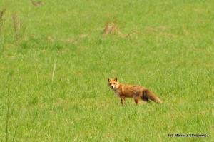 Fauna w Dorzeczu Wisłoka: lis