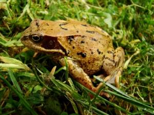 Fauna w Dorzeczu Wisłoka: żaba trawna