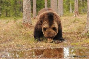 Fauna w Dorzeczu Wisłoka: niedźwiedź brunatny