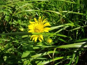 Flora w Dorzeczu Wisłoka: arnika górska