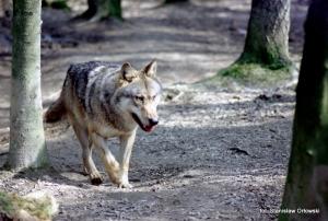 Fauna w Dorzeczu Wisłoka: wilk