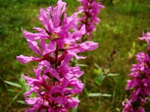Flora w Dorzeczu Wisłoka: krwawnica pospolita